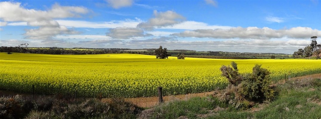 Attractions - Canola Paddock